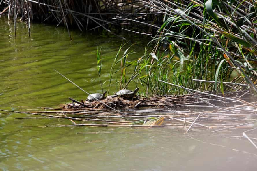 Tortugas en el río Llobregat