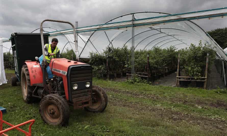 Tractor y arbustos de arándanos